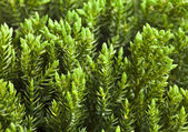 Juniper (Juniperus) — Stock Photo