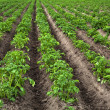 Potato field — Stock Photo #14870293