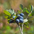 Blueberry — Stock Photo #14870519