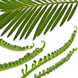 Stock Photo: Green young tendril leaf of palm tree on white background