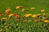 Orange colored calendula — Stock Photo