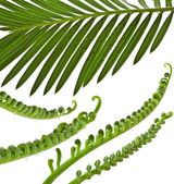 Green young tendril leaf of palm tree on white background — Stock Photo