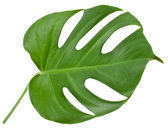 Leaf of a monstera isolated on white — Stock Photo