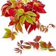 Autumn colorful falling leafs grape vine on white — Stock Photo