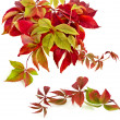 Autumn colorful falling leafs grape vine on white — Stock Photo #14931623