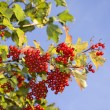 Viburnum branch against the blue sky — Stock Photo