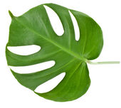 Leaf of a monstera isolated on white — 图库照片