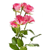 Pink rose flower bouquet isolated on white background — Stock Photo