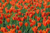 Bed of red tulips — Stock Photo