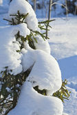 Fir branches in the snowdrift against the blue sky — Stock Photo