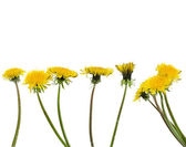 Dandelions (taraxacum isolated on white — Stock Photo
