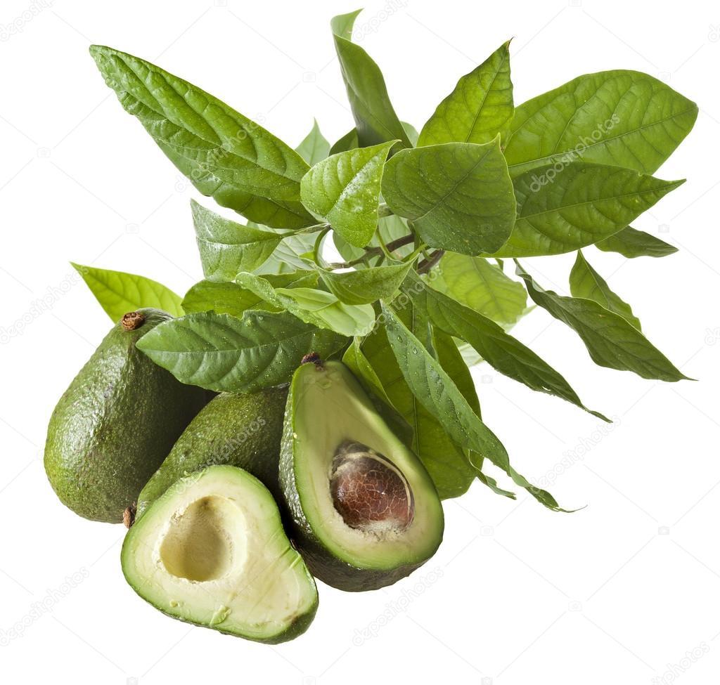 牛油果水果与年轻叶子从鳄梨树