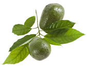 Avocado fruits with leaves tree, isolated on white — Stock Photo