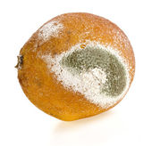 Moldy rotten citrus fruit isolated on a white background — Stock Photo