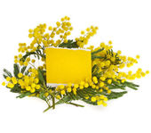 Mimosa acacia flowers with paper card for text on white — Stock Photo