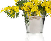 Bouquet mimosa acacia flowers in a bucket of zinc, decorative card on white — Stock Photo