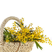 Bouquet mimosa acacia flowers in a basket, card on white — Stock Photo