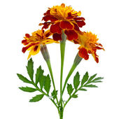 Dark red marigold isolated on white — Stock Photo