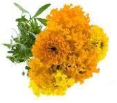 Marigold flowers isolated on white background — Stock Photo