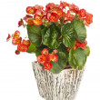 Begonia in flowerpot — Stock Photo #15761535