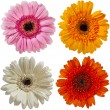 Stock Photo: Flower of colorful gerber daisy collection isolated on white background