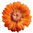Gerbera flower isolated on white background - Stock Photo