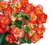 Begonia flower on a white background — Stock Photo