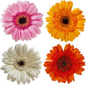 Flower of colorful gerber daisy collection isolated on white background — Stock Photo