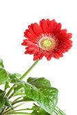 Gerbera flower isolated on white background — Foto de Stock