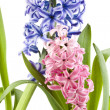 Two hyacinth flower isolated over white - Stock Photo