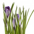 Crocus flowers isolated on a white background — Stock Photo