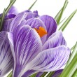 Royalty-Free Stock Photo: Crocus flowers isolated on a white background