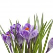 Crocus flowers isolated on a white background — Stock Photo #15803591