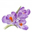Crocus flowers bouquet isolated on a white background — Stock Photo #15803739