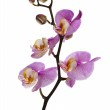 Pink orchid isolated on a white — Stock Photo