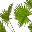 Green palm leaves (Livistona Rotundifolia palm tree) isolated on white background — Stock Photo