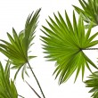 Green palm leaves (Livistona Rotundifolia palm tree) isolated on white background — Foto de Stock   #15805613