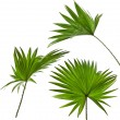 Green palm leaves (Livistona Rotundifolia palm tree) isolated on white background — Foto de Stock   #15805657