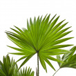 Livistona Rotundifolia palm tree isolated on white — Stock Photo