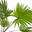 Livistona Rotundifolia palm tree isolated on white — Stock Photo #15805913