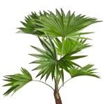 Livistona Rotundifolia palm tree isolated on white — Stock Photo