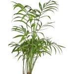 Howea palmier isolé sur blanc — Photo #15806113