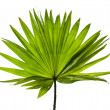 Green palm leaf (Livistona Rotundifolia palm tree) close up isolated on white background — Stock Photo