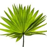 Green palm leaf (Livistona Rotundifolia palm tree) close up isolated on white background — Stock Photo