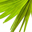 Green palm leaf (Livistona Rotundifolia palm tree) close up isolated on white background — 图库照片 #15806363