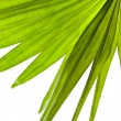 Green palm leaf (Livistona Rotundifolia palm tree) close up isolated on white background — Stockfoto
