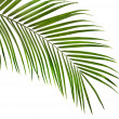 Royalty-Free Stock Photo: Green leaf of palm tree on white background