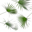 Green leaves of palm tree isolated on white background — Stock Photo