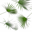 Green leaves of palm tree isolated on white background — Stock Photo #15807529