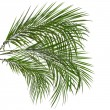 Palm leaves isolated on white — Stock Photo #15807621